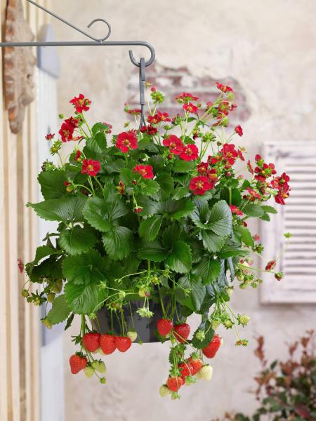 Odrůda měsíční jahody Deep Rose zaujme tmavě růžovým až červeným květem. Plody mají výraznou chuť ivůni