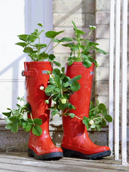 Díky nenáročnosti naprostor lze jahody pěstovat nazahradě, vkvětináči nebo třeba vholinkách