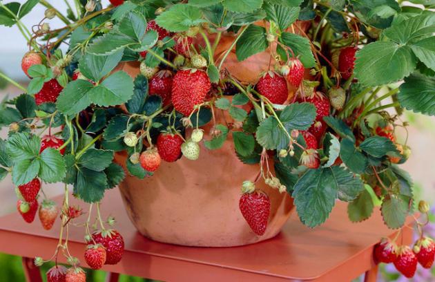 Jahody patří kčervnu. Nic nechutná tak lahodně jako vlastní, čerstvě natrhané jahody scukrem ašlehačkou nebo smoothie plné chuti avitamínů. Také procházka bude ještě bohatší navůně, když potkáme drobné jahůdky lesní.