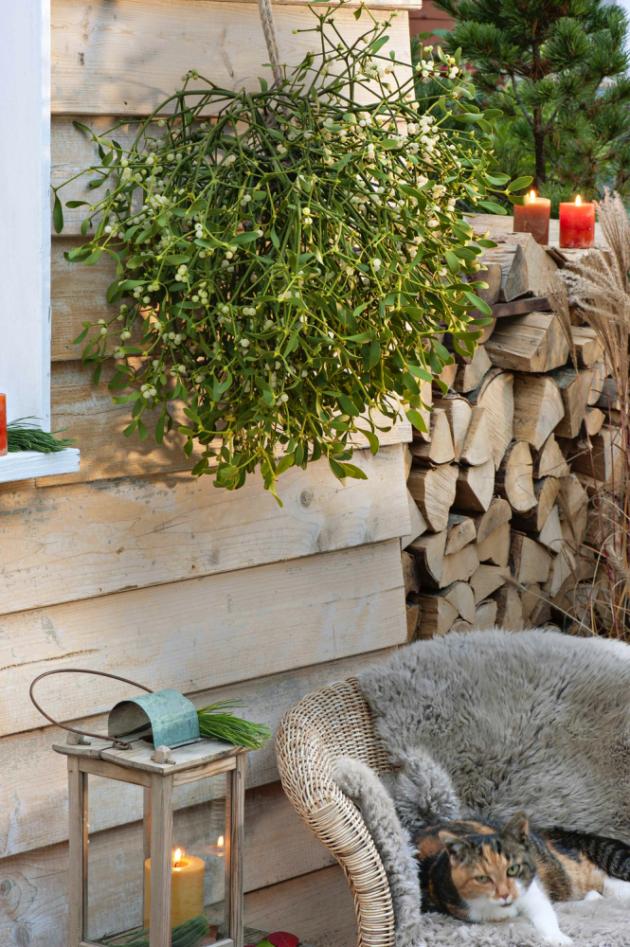 Asi nejvíce pověstmi opředená rostlina se stala jedinečným symbolem Vánoc. Podle tradice prý pocházelo dřevo nakolébku Ježíše Krista ze jmelí, jež bylo tehdy volně rostoucím, mohutným stromem. Ten samý strom měl pak být použitý nadřevo kříže, aproto se hanbou zmenšil. Nebo je symbolika syntézou pohanství akřesťanství? Vždyť idruidové měli najmelí speciální zlaté srpy. Iproto se tradičně pozlacuje, ale oblíbená je istříbrná varianta. Jiné efektní barvy jsou spíše novinkou. Jmelí byly vždy přisuzovány magické schopnosti. Darované jmelí má přinášet štěstí adobro avelmi se doporučuje polibek pod zavěšeným svazkem pro dobrou perspektivu vztahu, ale lze beztrestně políbit kohokoliv. Slované jmelí používali proti zlým duchům ikodvrácení požárů. Ačkoliv je jmelí částečný parazit, stromům, jejichž mízního systému využívá, příliš neškodí.