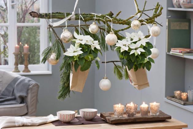 Kromě domácích rostlin jsme si zvykli zdobit vánoční interiér ihosty zdalekých krajů. Pryšec nádherný, původem ztropických pralesů Mexika, je opravdovou hvězdou. Vděčí zato efektnímu vybarvení listů vsyté červeno-zelené kombinaci, která ksvátkům patří. Toto zbarvení je nejžádanější, ale horní listové růžice mohou stejně tak mít oranžovou, světle zelenou, smetanovou, růžovou, bílou či mramorovou barvu.