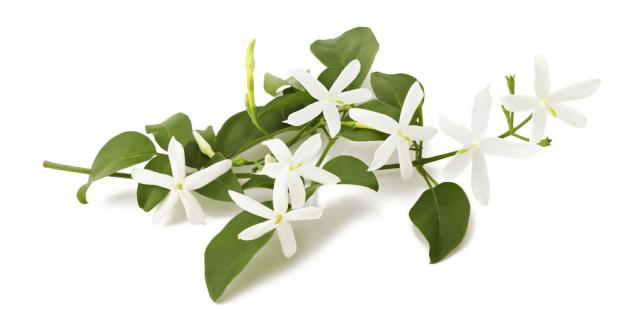 JASMÍN  Rostlina s nádhernými bílými květy má schopnost nejen provonět zahradu, ale pyšnit se může i léčivou silou, a to i jako pokojová rostlina. Pokud teď v zimních měsících podléháte úzkosti a špatné náladě, vůně kvetoucího jasmínu vás napětí zbaví. Vůně jasmínu také pomáhá k vyšší kvalitě spánku, což dokazuje i to, že právě květy s výraznou sladkou vůní byly pro své relaxační a afrodiziakální vlastnosti užívány už ve starověku.
