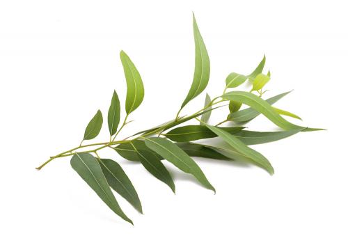 EUKALYPTUS  Známý také pod názvem blahovičník (citronový s dlouhými úzkými listy a Gunnův s drobnými kulatými lístky) vylučuje desinfekčně působící vonné silice, které ničí bakterie a pomáhají léčit záněty horních cest dýchacích a pomáhají i při astmatu. Listy se dají dobře usušit a použít k inhalaci. Vonné silice z eukalyptu se používají také při aromaterapii. Potřebuje vyšší vlhkost vzduchu, kterou dodá třeba zvlhčovač na topení