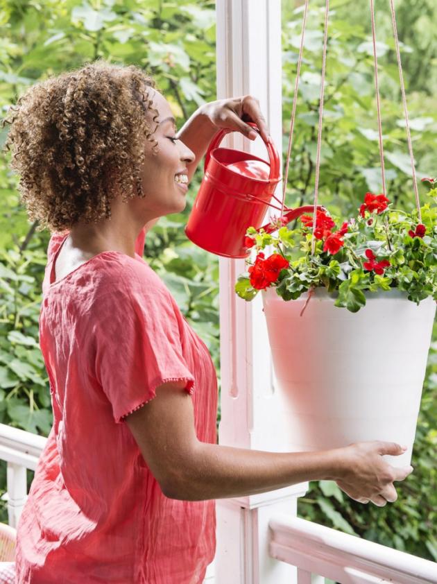 První pelargonie se do Evropy dostaly z jižní Afriky počátkem 17.století. Za svůj název vděčí nizozemskému botanikovi, jemuž jejich květy připomínaly čapí zobák, a tak pro jejich označení zvolil řecký výraz pelargós– čáp