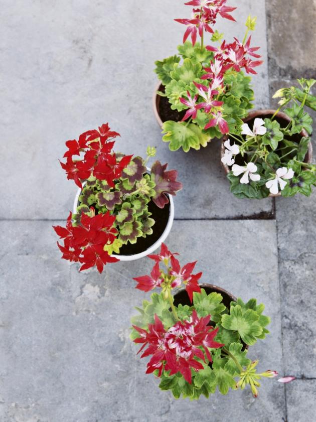 Pelargonie neboli muškáty byly vždy neodmyslitelnou ozdobou venkovských stavení. Dnes jejich květy zdobí i terasy, lodžie a okna městských domů. Jsou totiž přesnou ukázkou toho, jak se dá za málo peněz pořídit hodně muziky.