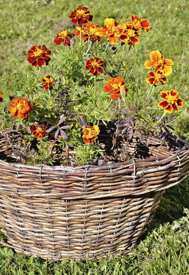 Výborně se jim daří naplném slunci ivpolostínu. Mají rády kvalitní půdu adobře snášejí krátkodobé sucho ipřemokření.