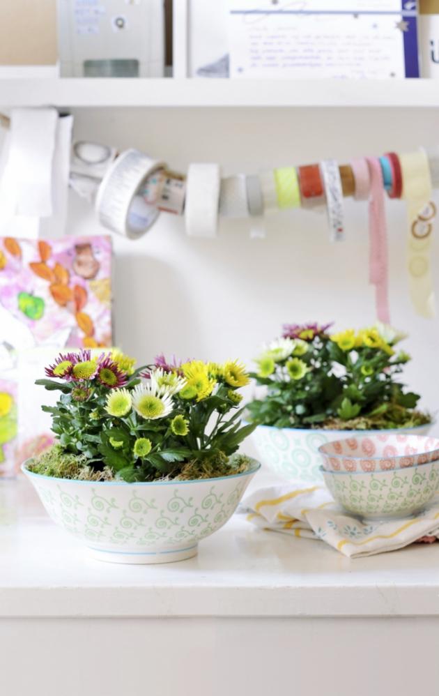 Čaj zchryzantémy prý zlepšuje zrak, léčí nachlazení, pomáhá proti bolestem hlavy, zamezuje tvorbě zubního kazu a detoxikuje organismus. Jedlé jsou i okvětní lístky, které lze použít třeba do zeleninových salátů, ale pozor abyste přidali pouze okvětní plátky, protože středy a řapíky jsou hořké.