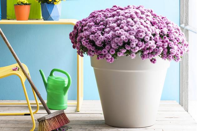 Chryzantéma, krásná podzimní rostlina, už dávno není doménou trvalkových záhonů a smutečních kytic či věnců. Zabydlela se i vinteriérech, na balkonech, terasách, u vchodů do domu, kde je, usazená vkvětináčích, pastvou pro oči.