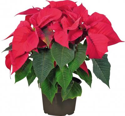 Pryšec nádherný známější jako vánoční hvězda je květinou typickou pro adventní období. Její druhé známé jméno poinsettia se odvíjí od příjmení prvního velvyslance USA vMexiku; Joel Roberts Poinsett ji totiž roku 1825 jako první přivezl do Spojených států amerických.