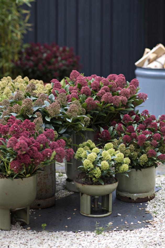 Nejčastěji pěstovaným druhem je Skimmia japonica. Její lesklé neopadavé listy jsou dekorativní samy o sobě, tudíž zahrady, terasy či vchodové dveře zkrášlují po celý rok.