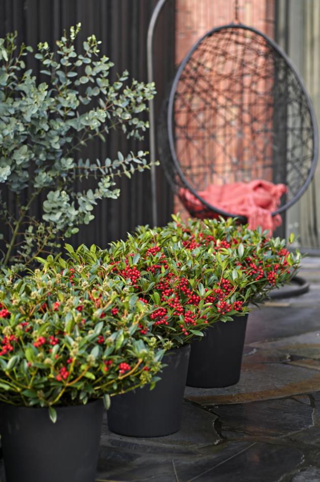 V zahradě seskimmiebudou krásně vyjímat vedle vřesovištních rostlin, do jejichž skupiny také patří, případně mohou tvořit okrasnou předsadbu vyšším dřevinám.