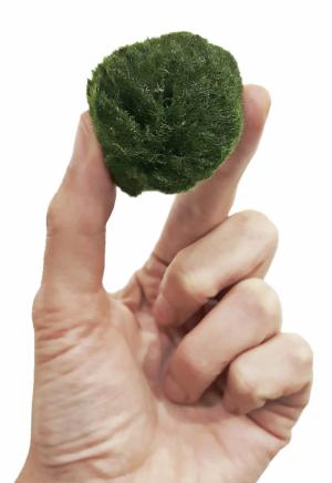 Není tahle zelená kulička rozkošná? Řasokoule zelená připomíná mech. Jedná se však o druh vlasovité zelené řasy, která se nachází pouze v některých jezerech na severní polokouli, ale pěstuje se i v pěstírnách třeba v Japonsku. Tato rozkošná zelená kulička má ráda studenou říční, případně převařenou vodu, žije z fotosyntézy, nemá ráda sluníčko a alespoň jednou za dva týdny je potřeba jí vodu vyměnit. Občas je potřeba ji prstem trochu pootočit, aby rostla rovnoměrně dokulata. Pořídíte na www.zahradananiti.cz