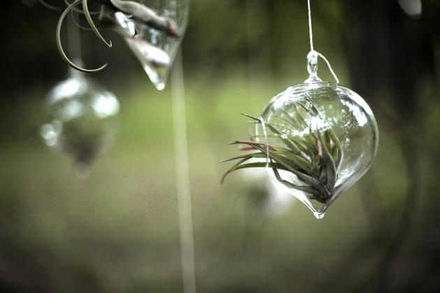 Přijde vám neuvěřitelné, že tilandisie dokáže žít bez substrátu a pravidelné zálivky? Tato broméliovitá rostlinka potřebuje dostatek ideálně rozptýleného světla s občasným sluncem a rosení jednou až dvakrát týdně dešťovou, převařenou nebo destilovanou vodou, která neucpává rostlině póry, jimiž přijímá vodu, a nezanechává na skle vodní kámen. Pamatujte, že tato zajímavá rostlinka nikdy nesmí stát ve vodě, jinak uhnije.