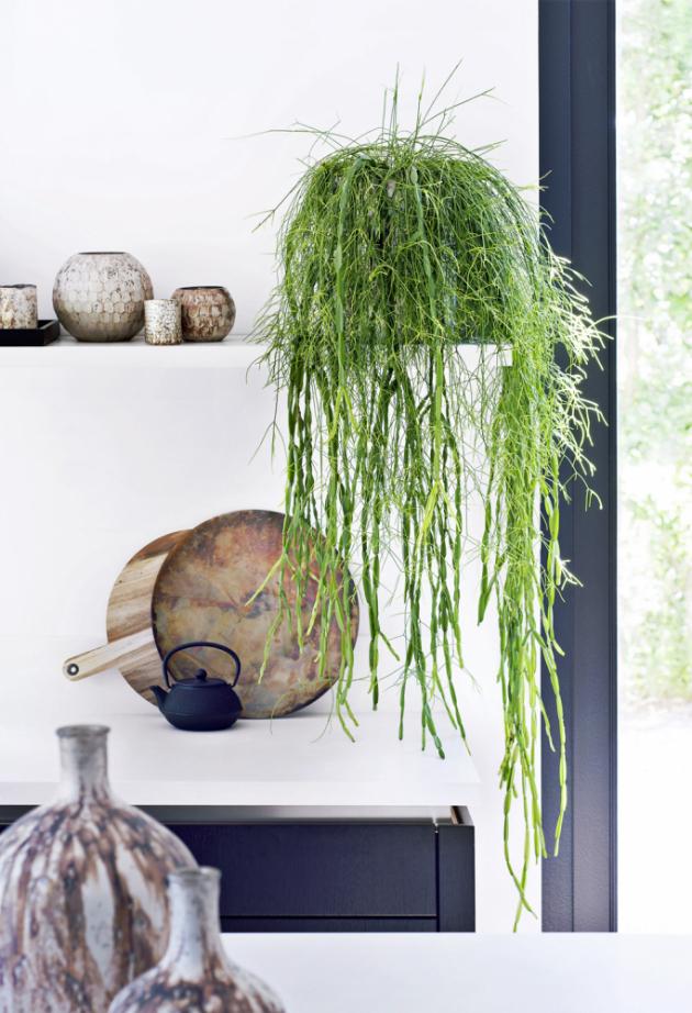 RIPSÁLIS   (Rhipsalis cassutha) Kaktusu se moc nepodobá, ale přesto jím je, pouze má místo trnů dlouhá převislá vlákna, která lze zastřihovat.