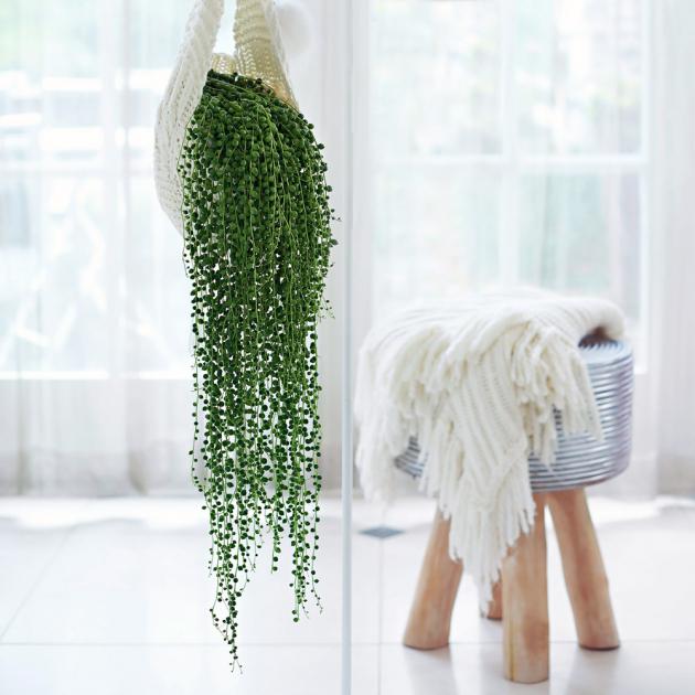 Starček převislý   (Senecio rowleyanus) Krásná převislá rostlina s listy, které se podobají hrášku či korálkům, proto je známá i pod anglickým názvem string of perls, v překladu perlový náhrdelník.