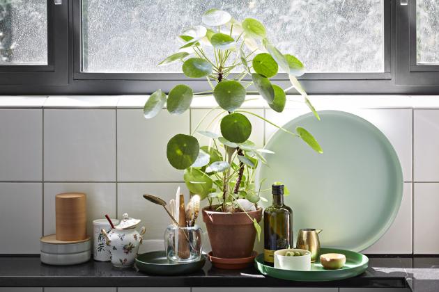 Pilea   (Pilea peperomioides) Je často nazývaná palačinkovou kytkou, chinese money plant či UFO. V poslední době je označována jako královna Instagramu.